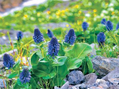 白馬連峰の高山帯で見られる高山植物