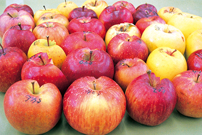 """信州りんごの""""新品種""""が生まれるまで"""