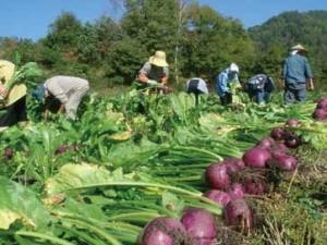 5〜8cmほどの実を付ける王滝カブは、10月中旬ごろから収穫が始まる