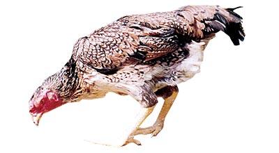 信州ぎたろう軍鶏