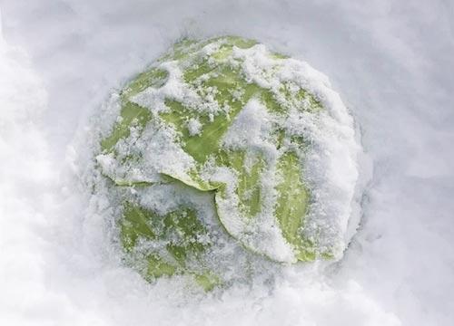 信州おたり雪中キャベツ