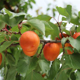 【信州フルーツリレー 第1弾】<br> 朝採れ果実などが新幹線でやってくる!<br> 「新幹線マルシェ×銀座NAGANO」を6月26日に開催します!