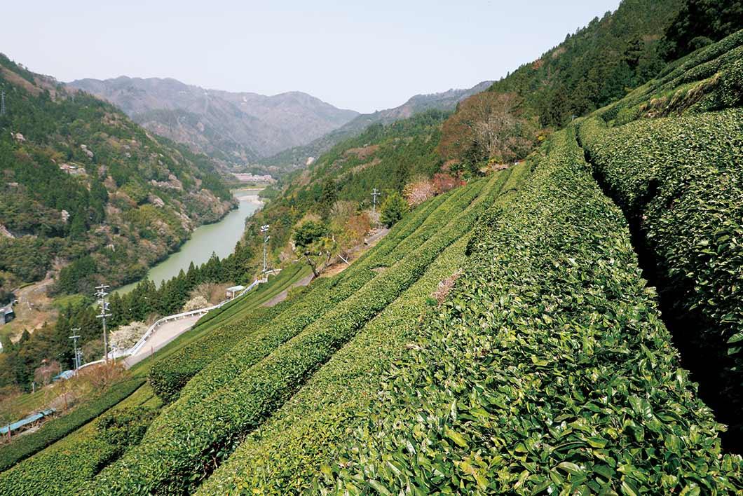 茶畑から望む天竜川